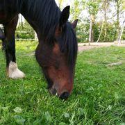 shire horse zu verkaufen