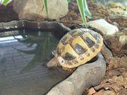 Süße Schildkrötenbabys aus Isselburg-Werth