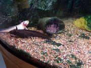 3 Axolotl gegen Schutzgebühr von