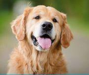 Welpe gesucht Golden R Labrador