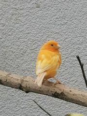 Junge Kanarien Hähne Wellensittich Hennen