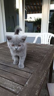 BKH-Kitten ab sofort Auszugsbereit