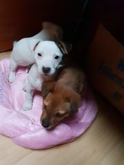 Jackrussel-Chihuahua mix Welpen