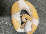 Python Regius Banana Piebald 1