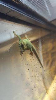 2 Himmerblaue Zwergtaggeckos inkl Terrarium