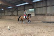 schicke 13 jährige Oldenburger Springpferd