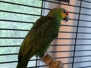 Papagei Amazon