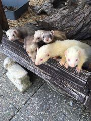 Frettchen Ruede Tiermarkt Tiere Kaufen Quoka De