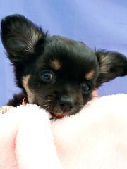 Verschmuste reinrassige Chihuahua-Welpen mit AT