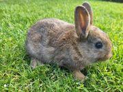 Zwergkaninchen Zwergwidder Hasen Kaninchen mehrfarbig