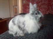 Tolle Kaninchen Mädchen abzugeben geimpft