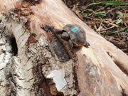Schildkröten aus Hobbyzucht incl Cites