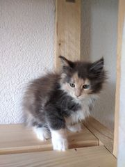 Reinrassige Maine Coon Kätzein Kitten