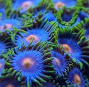 Meerwasser Zoanthus Ableger