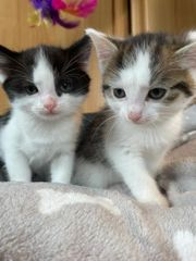 Ragdoll EKH Kitten