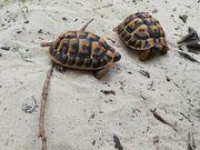 Griechische Landschildkröten reserviert