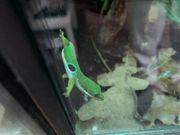 Phelsuma Quadriocellata Pfauenaugentaggecko