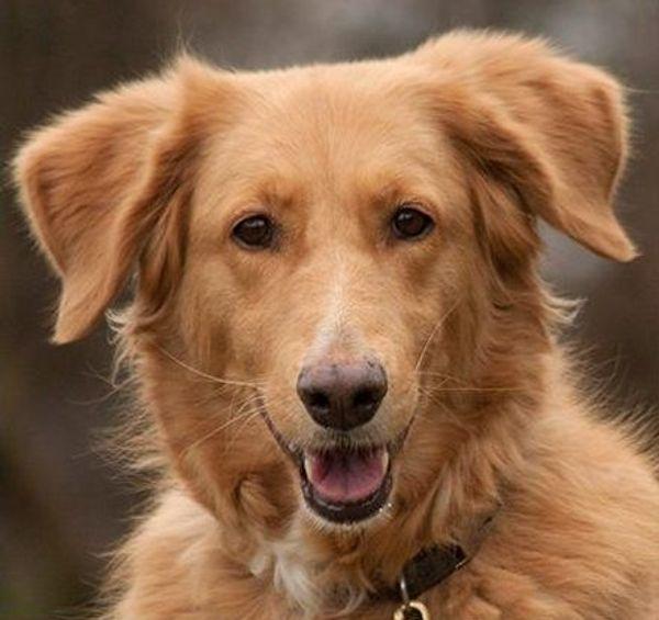 Simona - Goldie-Setter-Mix - 6 Jahre - Tierhilfe