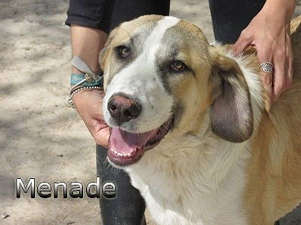 Herdenschutzhund Menade hofft auf ein