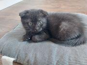 BKH SF Black Kitten Schwarz