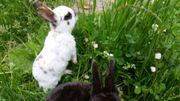 Zwergkaninchen Zwergwidder Kaninchen Rex Dalmatiner