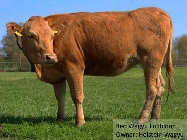 Red Wagyu rot bereits in