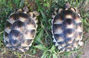 Breitrandschildkröten NZ 2013