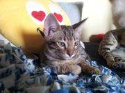 Bengal Siam Mix Kater in