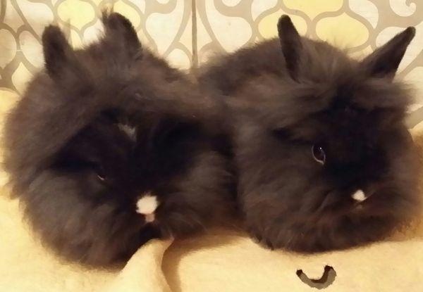 Kaninchen Zwergkaninchen Löwenköpfchen männlich und