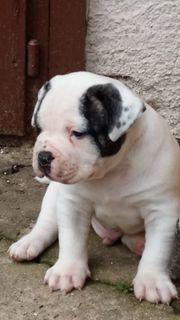 Am Bulldog Welpen