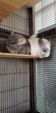 Chinchilla Paar