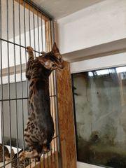 reinrassige Bengal Kitten in Braun