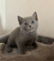 Süße reinrassige Russisch blau Kätzchen