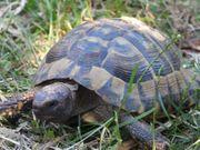 Griechische Landschildkröte - THB - männlich -16 Jahre