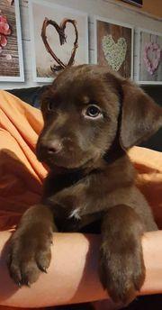 Australian Shepherd Labrador Abgabebereit