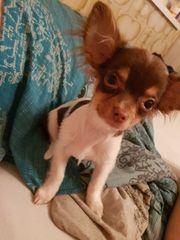 5 Monate alter Chihuahua Rüde