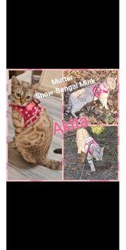 Snow-Silver Bengal Kitten und 1x