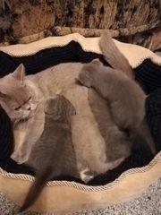 BKH Kätzchen Britisch Kurzhaar Kitten