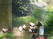 Hühnerküken Küken