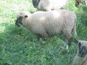 Shropshire Bock Schafe