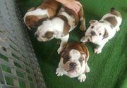 12 Wochen alter englischer Bulldoggenwelpe
