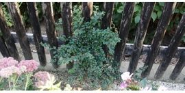 Bild 4 - Mehrjährige Blumen pflanzen Stauden Bäumchen - Doberschau
