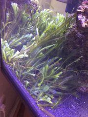 Meerwasser Caulerpa Taxifolia