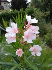 Oleander Rose Weiß
