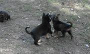 3 Deutsche Schäferhund welpen reine