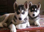 Sibirien Husky Welpen zu verkaufen