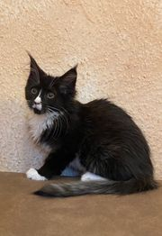Typvolle Maine Coon Kitten mit