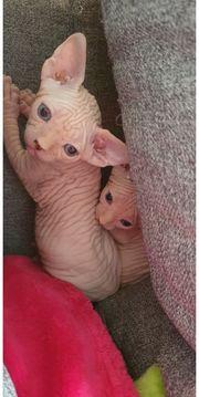 Canadian Sphynx Kitten Junge