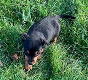 Terrier Welpen weiblich-Lisa und Dona