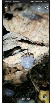 Asseln Armadillidium peraccae